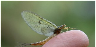 Mayfly-matching-the-hatch