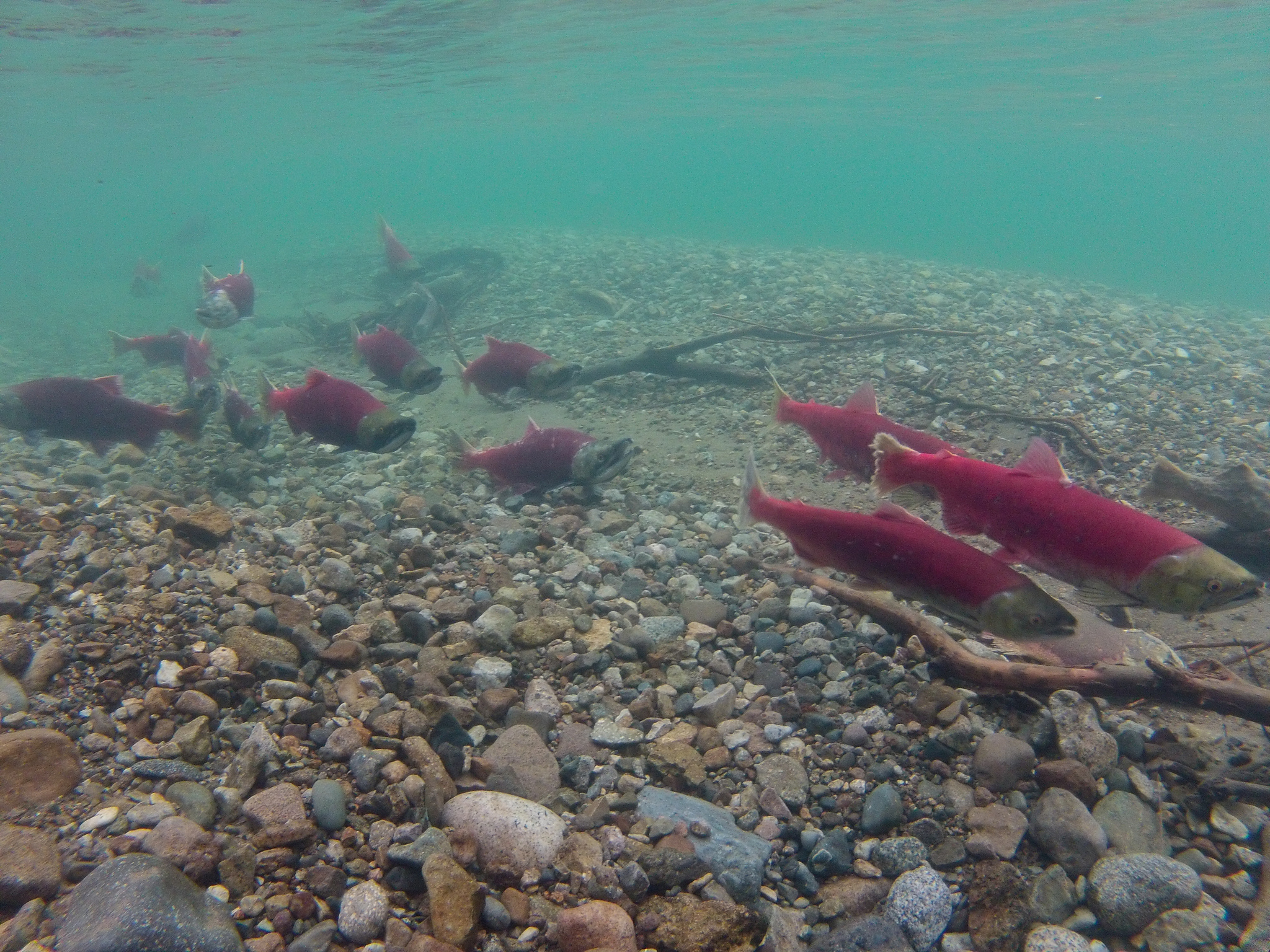 Understanding conservation the clean water act and for Alaska salmon fishing